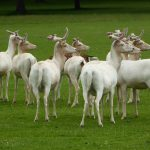 White Fallow deer at Houghton Hall in Norfolk